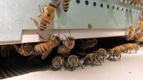 Lo sabes todo sobre las abejas caracteristicas todos los tipos funcion en el mundo de que se alimentan algunas curiosidades Abeja Buckfast