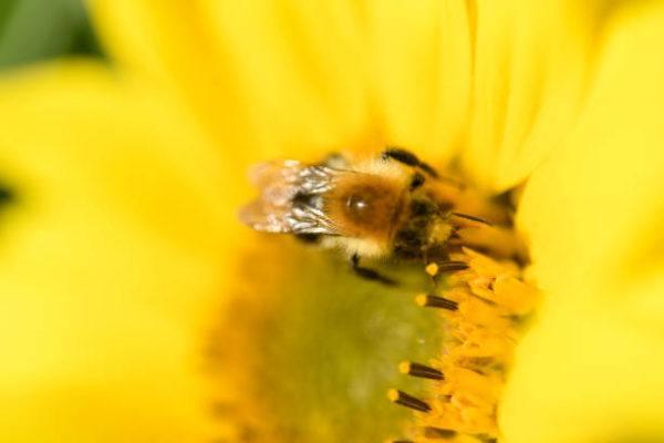 Lo sabes todo sobre las abejas caracteristicas todos los tipos funcion en el mundo de que se alimentan algunas curiosidades Apis mellifera carnica
