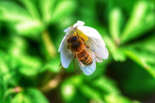 Lo sabes todo sobre las abejas caracteristicas todos los tipos funcion en el mundo de que se alimentan algunas curiosidades abeja italiana