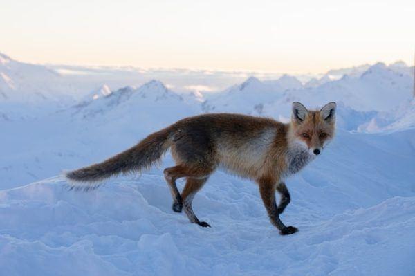 Tundra: qué es, sus características, clima, tipos, fauna y flora zorros