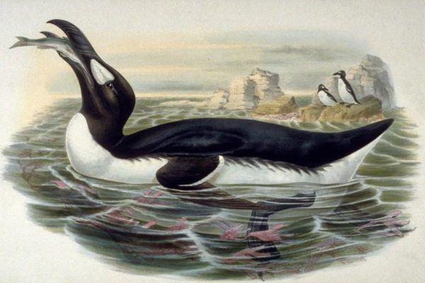 Cuales son los animales que se han extinguido por culpa del hombre Gran Auk del Océano Atlántico