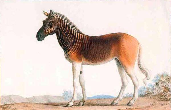 Cuales son los animales que se han extinguido por culpa del hombre Quagga