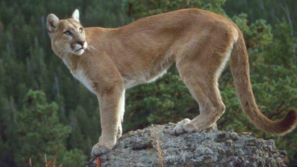 Cuales son los animales que se han extinguido por culpa del hombre puma