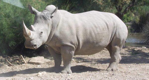 Cuales son los animales que se han extinguido por culpa del hombre rinoceronte blanco