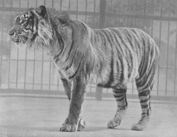 Cuales son los animales que se han extinguido por culpa del hombre tigre de java
