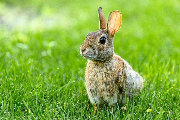 Por que los conejos salvajes ayudan a salvar ecosistemas 10