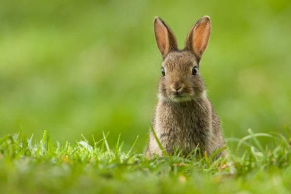 Por que los conejos salvajes ayudan a salvar ecosistemas 2