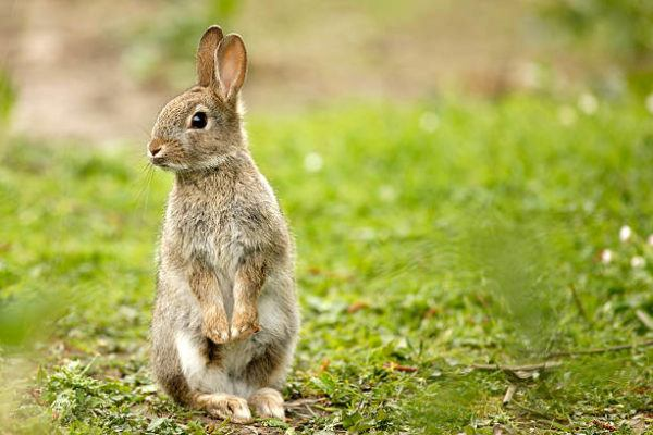 Por que los conejos salvajes ayudan a salvar ecosistemas 3