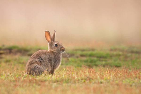 Por que los conejos salvajes ayudan a salvar ecosistemas 4