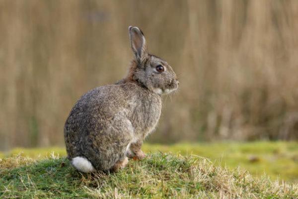 Por que los conejos salvajes ayudan a salvar ecosistemas 6