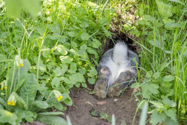 Por que los conejos salvajes ayudan a salvar ecosistemas 7