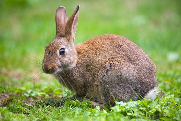 Por que los conejos salvajes ayudan a salvar ecosistemas 8