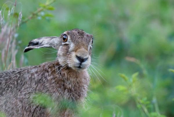 Por que los conejos salvajes ayudan a salvar ecosistemas 9