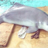 ¿Cuando se considera que un animal está extinto?
