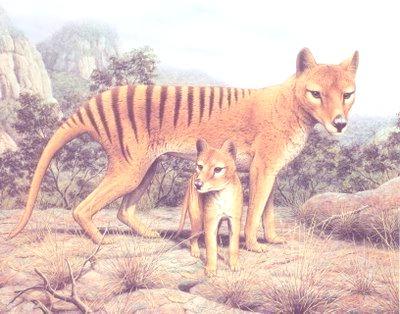 tigre-tazmania