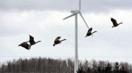 Las granjas eólicas no son las principales asesinos de aves