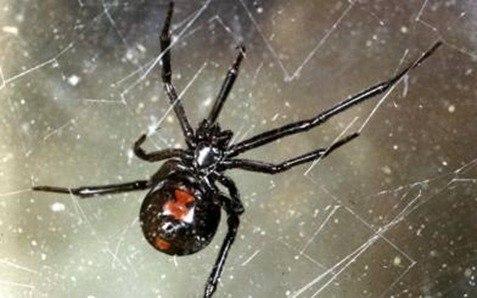 tela araña