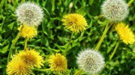 9 malas hierbas en el jardín que son comestibles