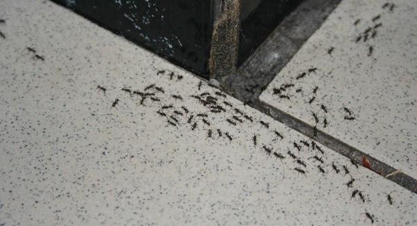echar hormigas de la cocina