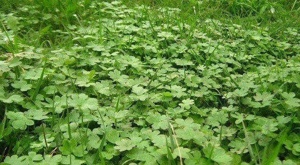 9 malas hierbas en el jard n que son comestibles for Hierba jardin