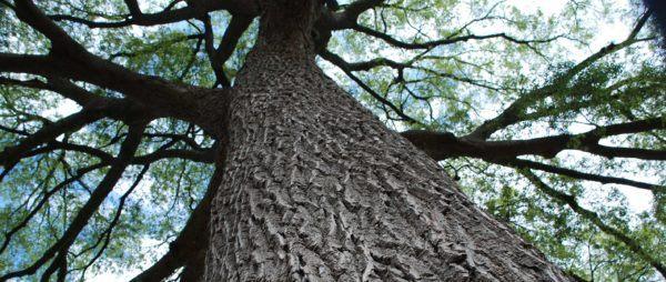 Los 10 arboles mas importantes del planeta Patriarca da Floresta