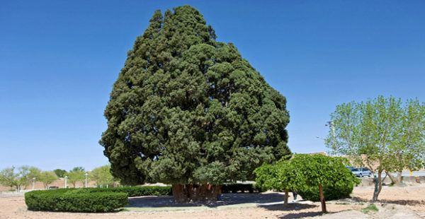 Los 10 arboles mas importantes del planeta Sarv e Abarqu