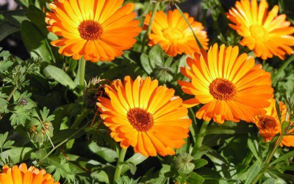 cuales-son-las-flores-de-invierno-calendula