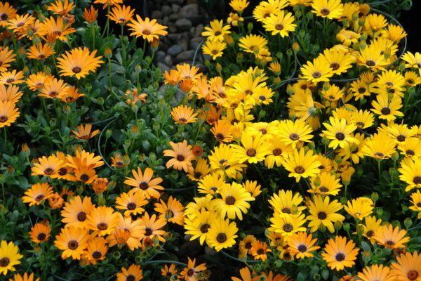cuales-son-las-flores-de-invierno-margaritas-africanas