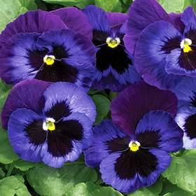 cuales-son-las-flores-de-invierno-pensamientos-azules