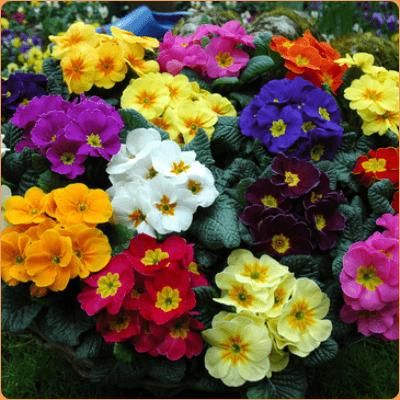 cuales-son-las-flores-de-invierno-primula