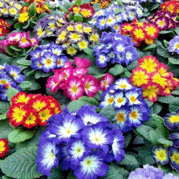 cuales-son-las-flores-de-invierno-primulas-primavera
