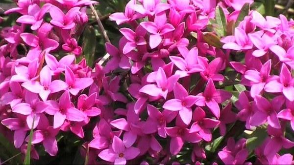 cuales-son-las-flores-de-invierno-trovisco-de-los-pirineos