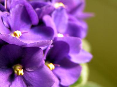 cuales-son-las-flores-de-invierno-violas