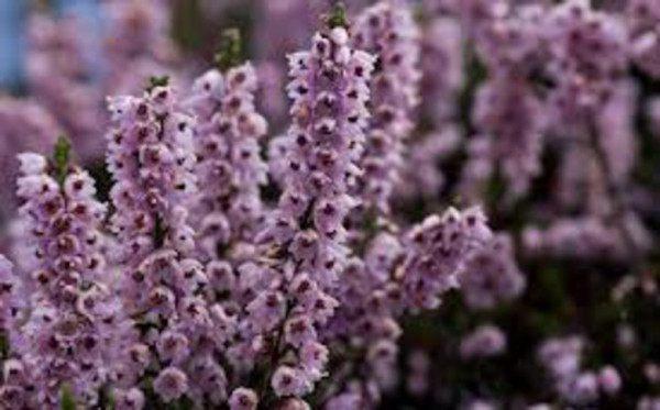 cuales-son-las-flores-de-otoño-berzo-bizcaino-abierto