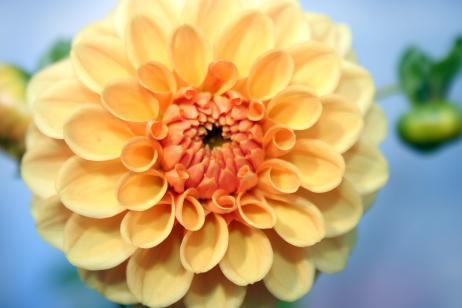 cuales-son-las-flores-de-otoño-dalia
