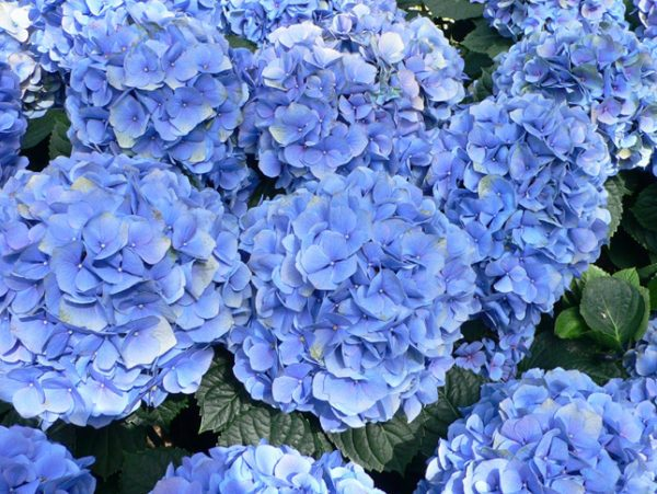 cuales-son-las-flores-de-otoño-hortensias