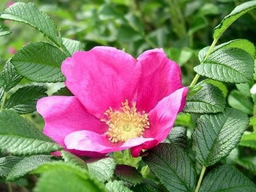 cuales-son-las-flores-de-otoño-rosa-rugosa