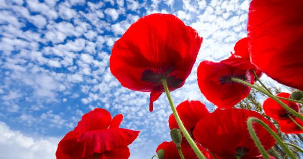 cuales-son-las-flores-de-primavera-amapola