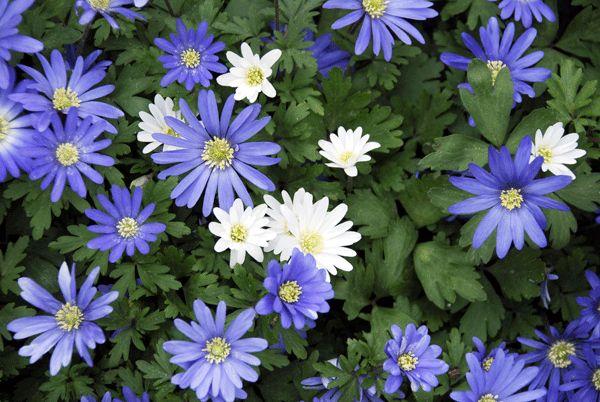 cuales-son-las-flores-de-primavera-anemona