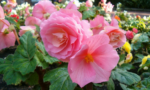 cuales-son-las-flores-de-primavera-begonia