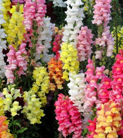 cuales-son-las-flores-de-primavera-boca-de-dragon-cascadas