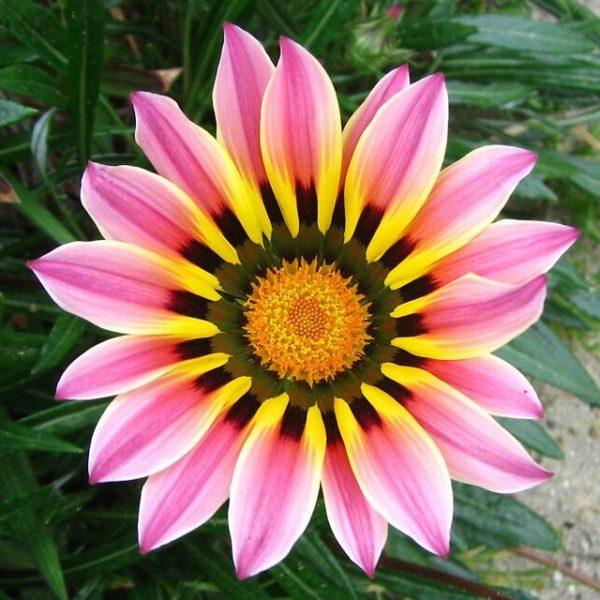 cuales-son-las-flores-de-primavera-gazania