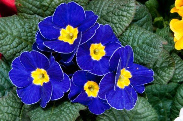 cuales-son-las-flores-de-primavera-primulas-azul-electrico