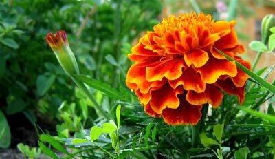cuales-son-las-flores-del-verano-claveles-de-moro