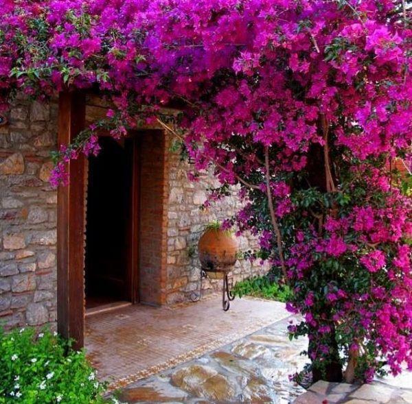 C mo cultivar bugambilia en nuestro jard n o huerto for Arbustos para patios