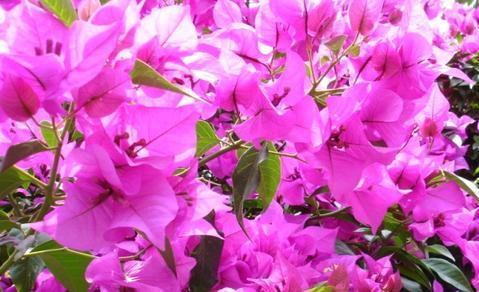 como-cultivar-bugambilia-arbustos