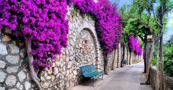 como-cultivar-bugambilia-muralla