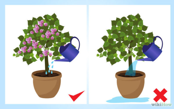 como-cultivar-bugambilia-riego