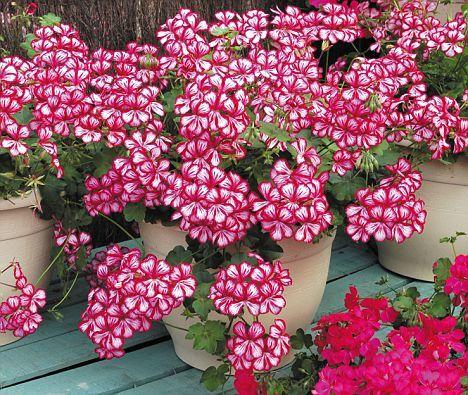 cuales-son-las-flores-de-otono-geranio-h