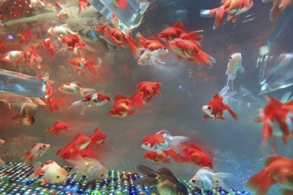 como-decorar-un-acuario-con-materiales-reciclados-peces-koi-globo